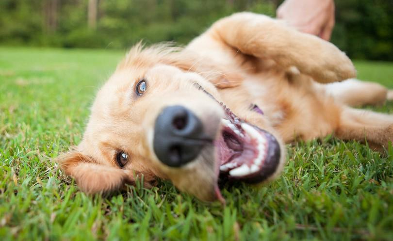 Cachorro com a boca aberta deitado no gramado