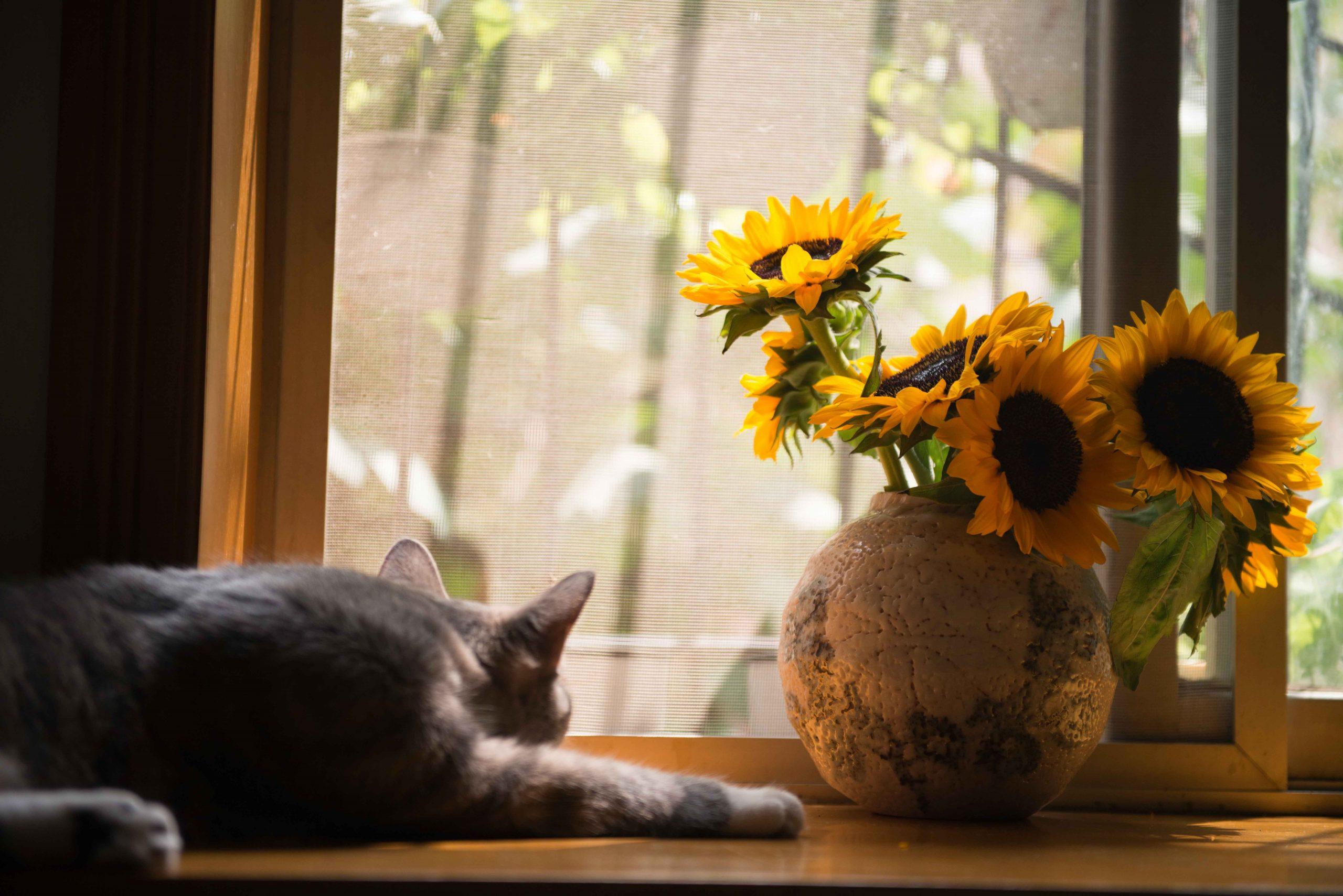 Gato deitado ao lado da janela e de um vaso com girassóis