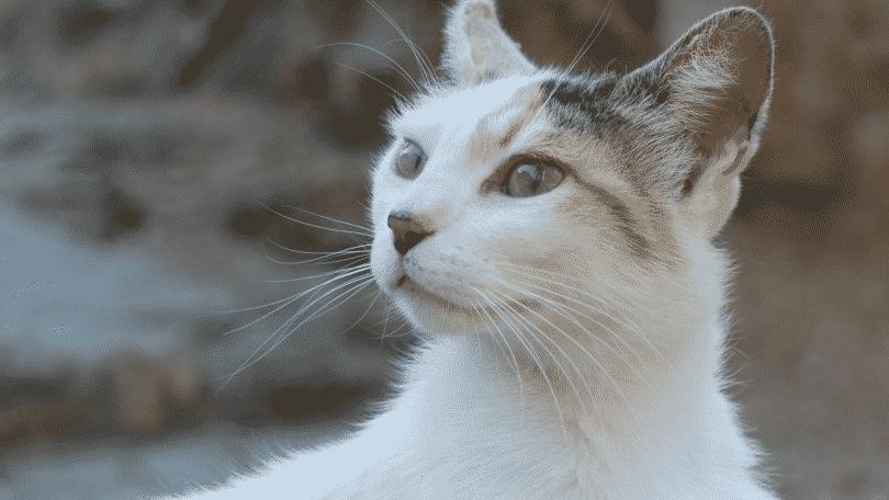 Gato olhando para o lado
