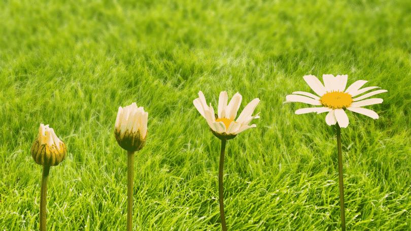 Evolução de uma flor de margarida