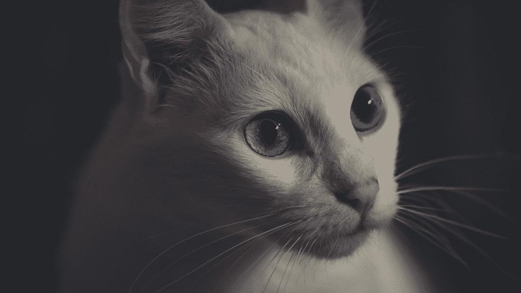 Gato branco com heterocromia nos olhos