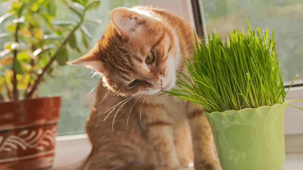 Gato encarando vaso de erva de gato
