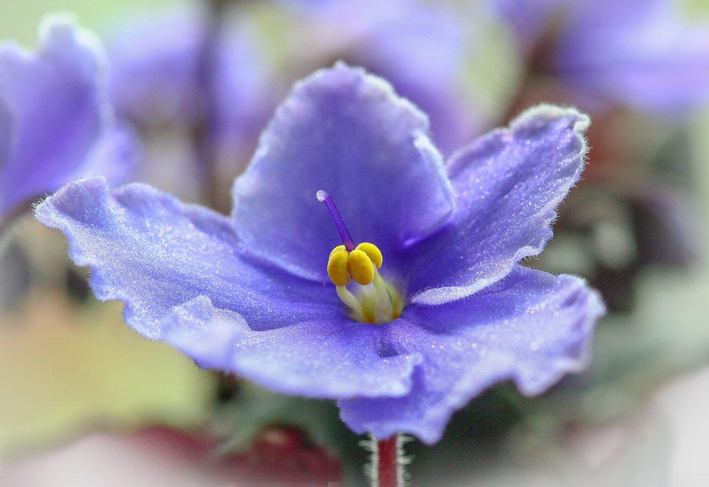 Foto aproximada de uma flor de violeta africana.