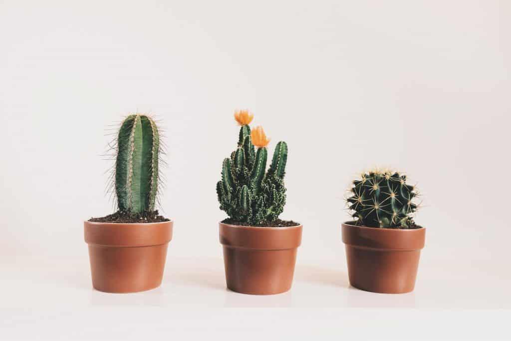 Três vasos de cactos