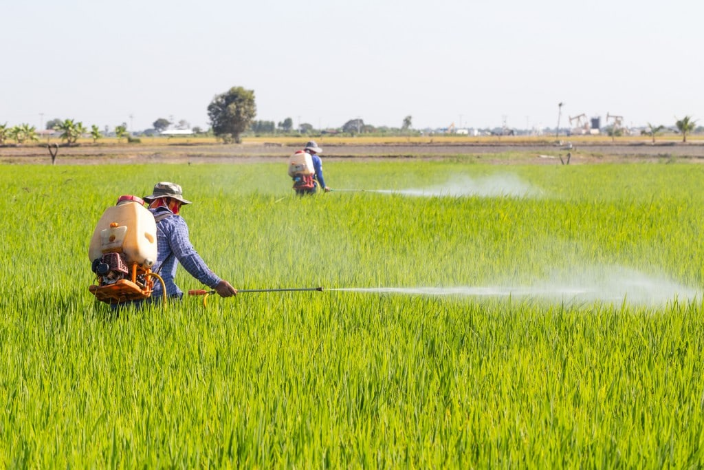 farmer spraying pesticide in the rice field Protect Pests