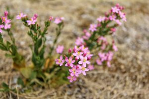 view of wild flower pink Centaurium erythraea