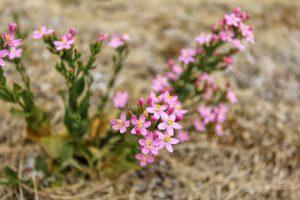 view of wild flower pink Centaurium erythraea