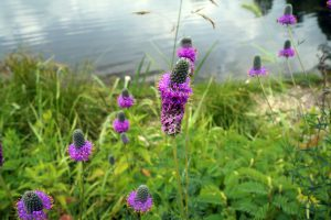 American vervain (Verbena hastata), also known as blue vervain and swamp verbena, blooms by the shore of a small lake in Joliet, Illinois.