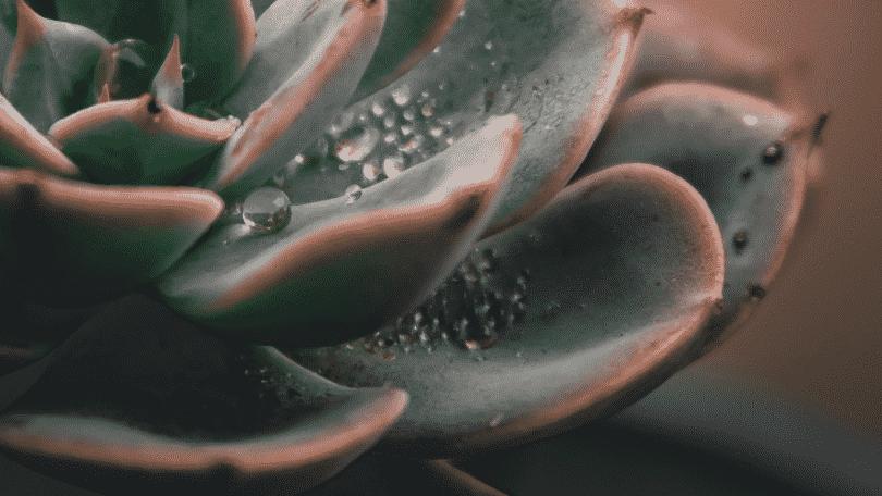 Foto de uma planta suculenta