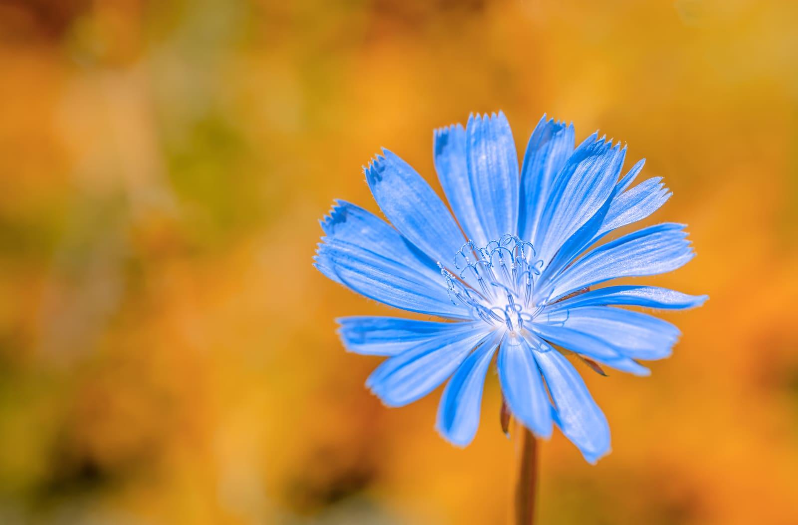 beautiful wild plant blue chicory flower on orange fantastic background close up