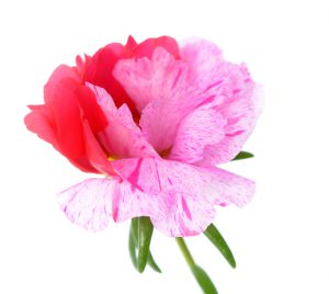 portulaca grandiflora flower isolated on white background