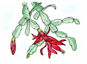 Watercolor Zigokaktus Schlumbergera Decembrists flowers on white background. Hand drawn drawing with flowers of pink Schlumbergera or Christmas Cactus.