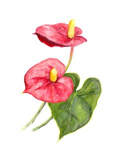 Anthurium red cala flower on white background