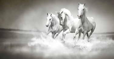 Photo of a herd of white horses running through water