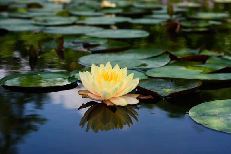 bigstock-Lotus-flower-and-Lotus-flower-112932188-810x540.jpg?profile=RESIZE_400x