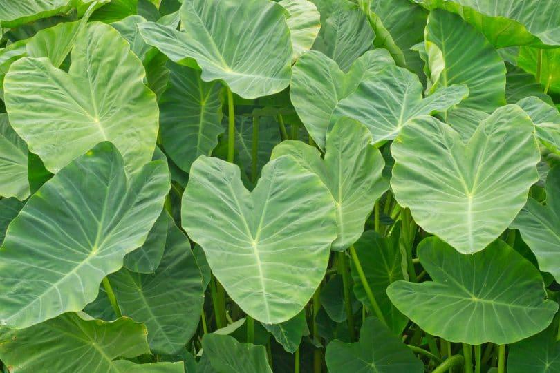 Folhas de taioba em plantação