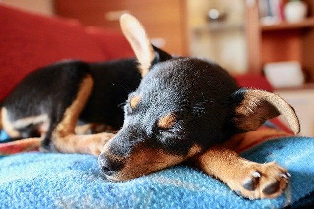 Cachorro pequeno dormindo com a cabeça em cima de uma de suas patas.
