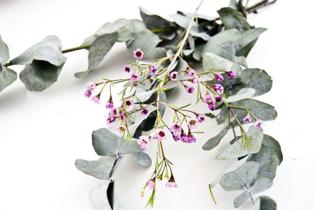 Ramos de folhas de eucalipto, com flores.