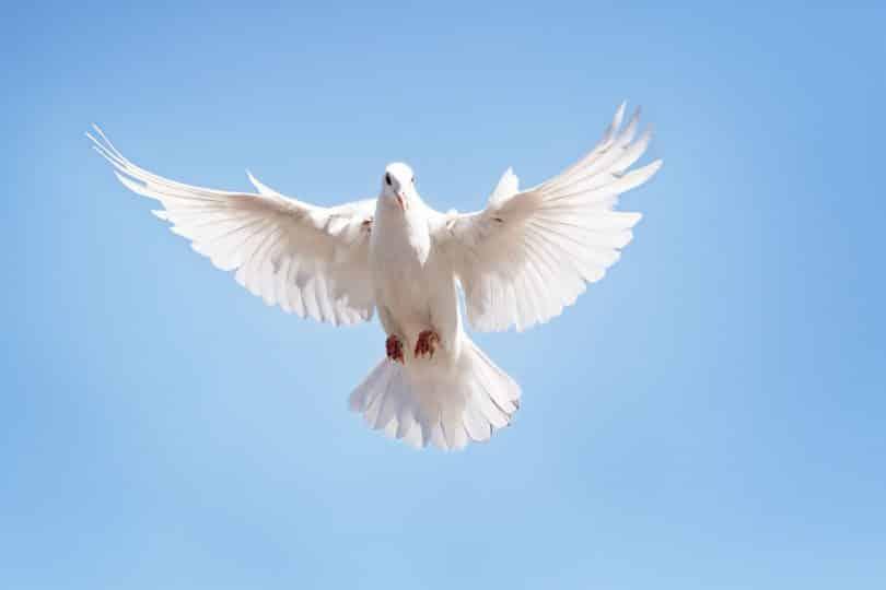 pomba branca voando contra o céu azul claro