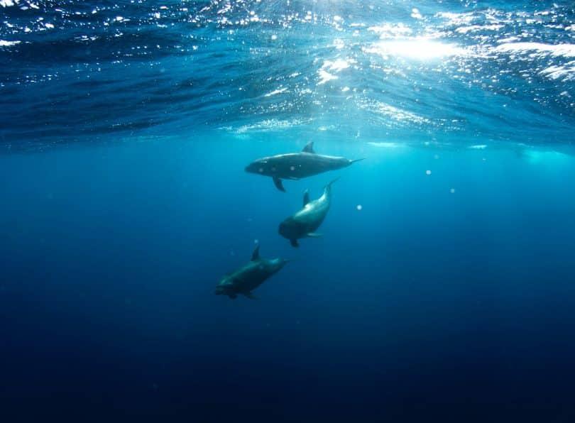 Três golfinhos nadando no mar
