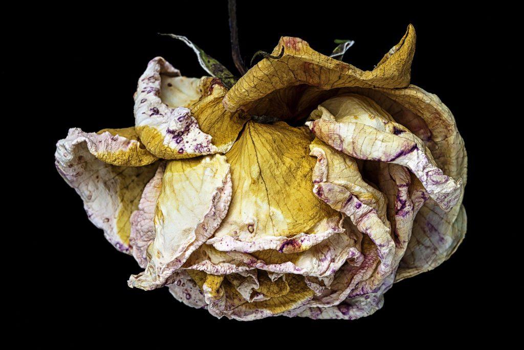 Uma rosa murcha com suas pétalas amareladas, com tons de branco e vermelho nas pontas