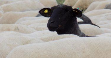 Ovelha negra levantando a cabeça no meio de um rebanho de ovelhas brancas.