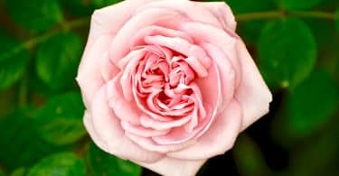Flor rosa ao lado de folhas
