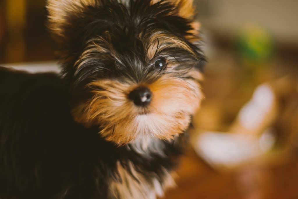 Cachorro da raça yorkshire.