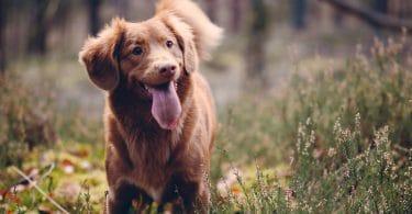 Cachorro marrom com a língua para fora parado em uma grama verde.