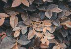Par de alianças de ouro em cima de folhas secas.
