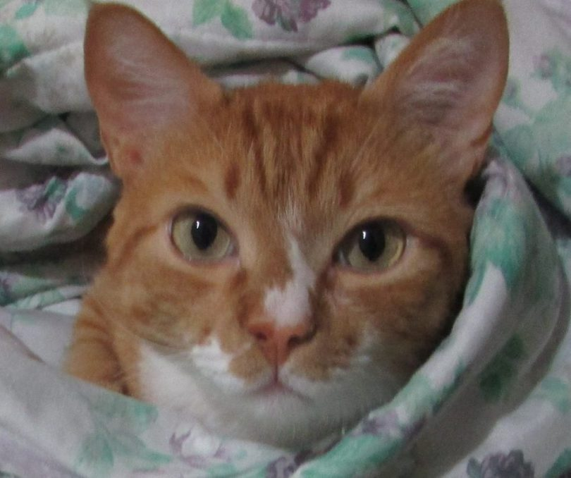 Gatinho enrolado em cobertor.