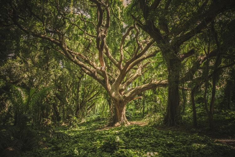 Árvore grande e destacada no meio da foto. Ao redor dela o cenário é uma floresta.