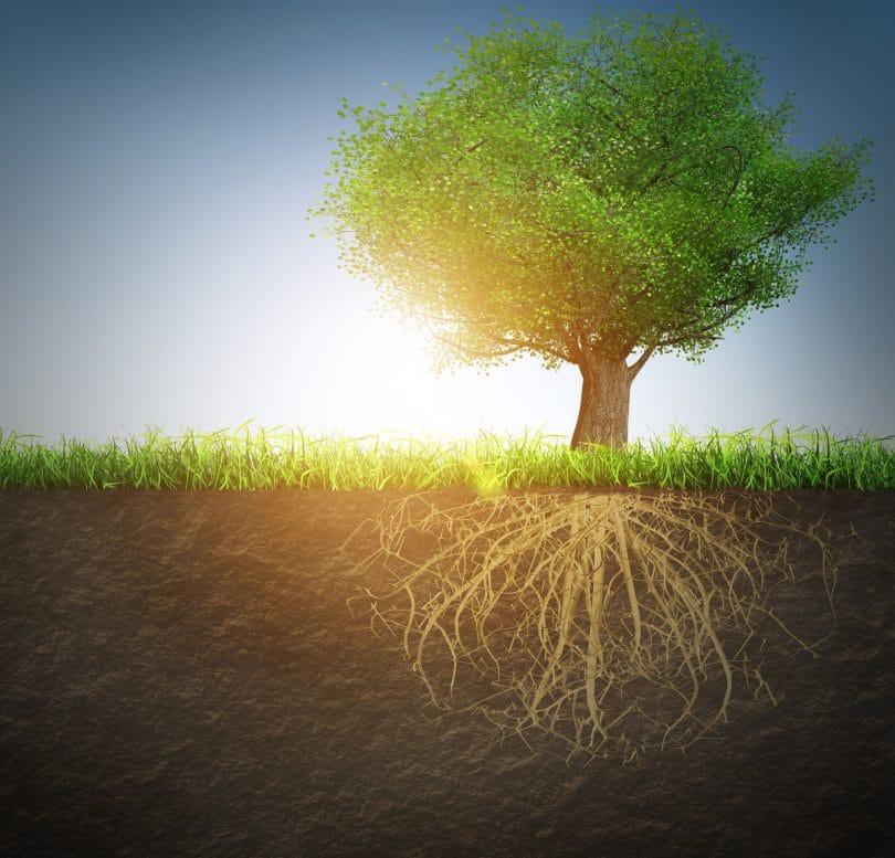 Imagem de uma grande árvore, ligada ai solo, com as raízes expostas.