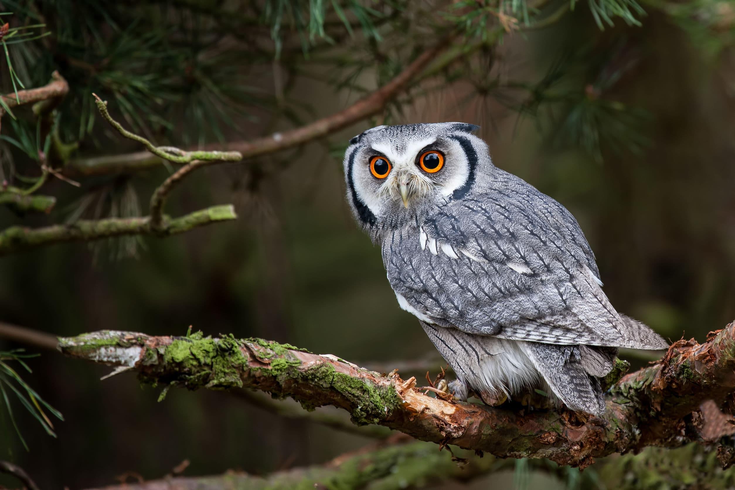 Coruja branca e cinza com os olhos laranjas. Ela está em um galho de árvore e ao fundo existe uma floresta.