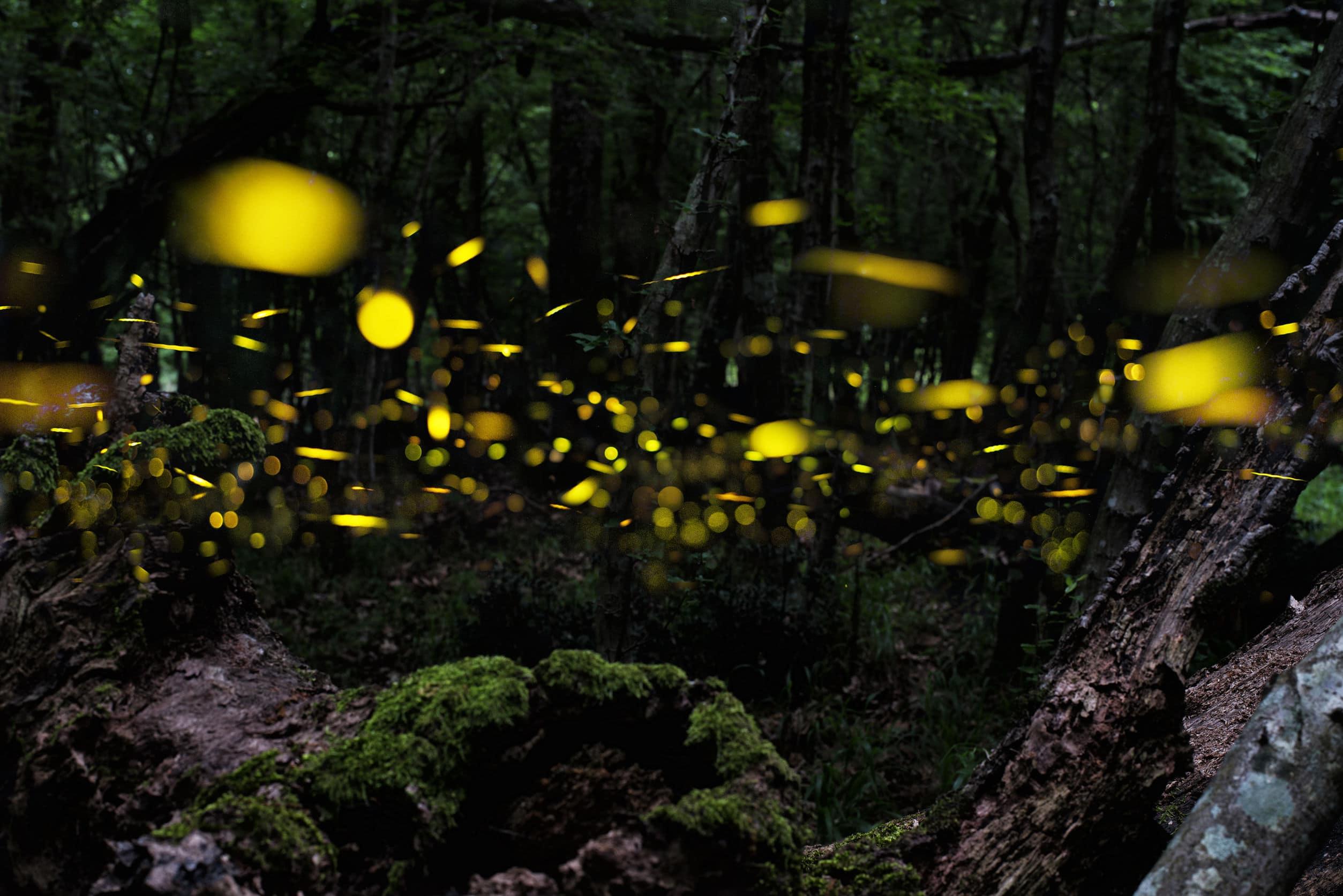 Vaga-lumes voando em floresta à noite