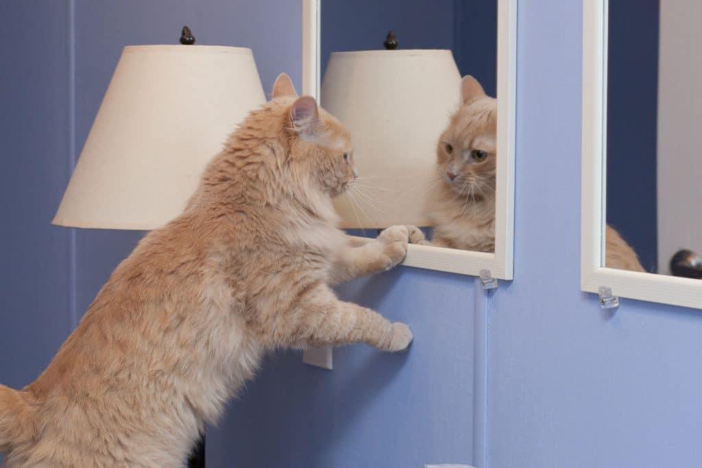 Gato amarelo se olhando no espelho.