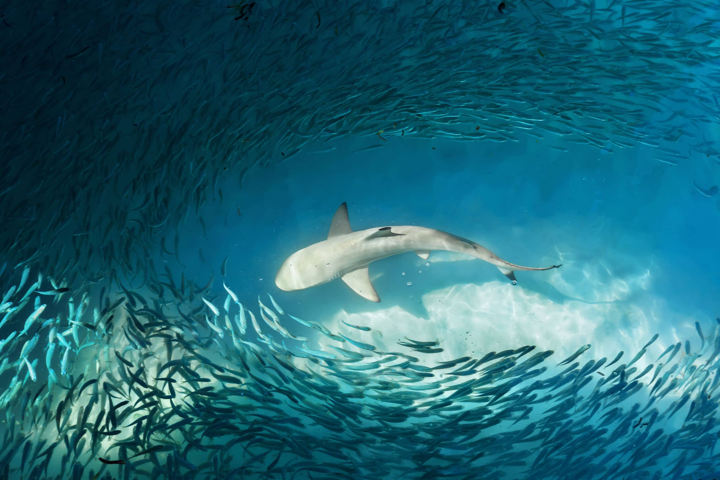 Tubarão e cardume de peixes pequenos no mar.