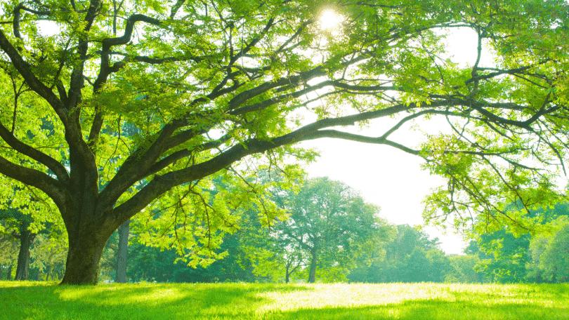 Imagem de uma árvore grande em um bosque