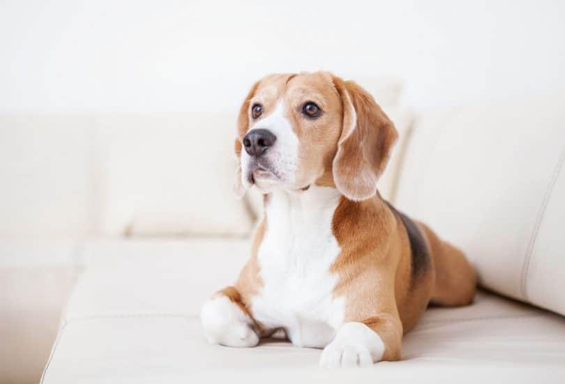 cão de raça beagle deitado no sofá branco no quarto de hotel de luxo