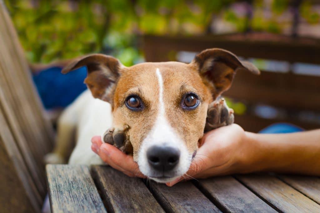 cão debruçado na mão do seu dono olhando para você