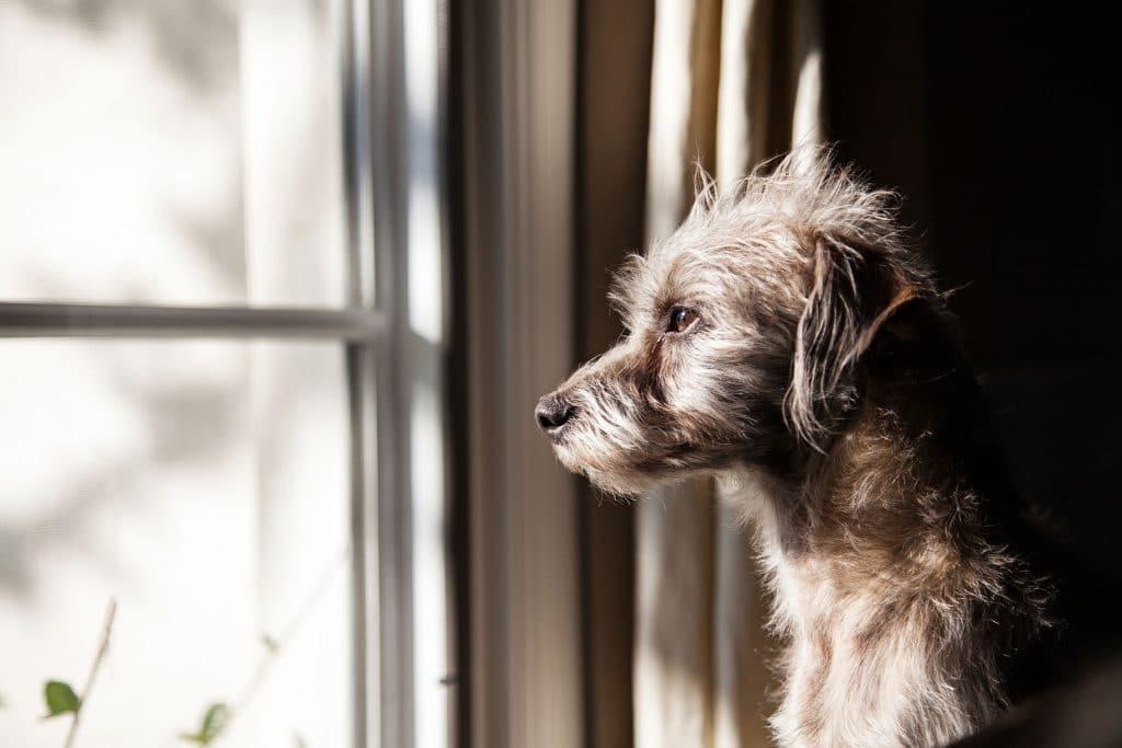 Cachorro sozinho, olhando para fora da janela de uma sala.