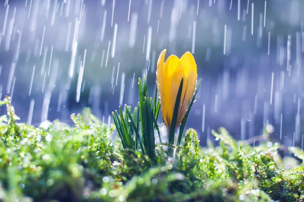 flor amarela recebendo a chuva durante a primavera