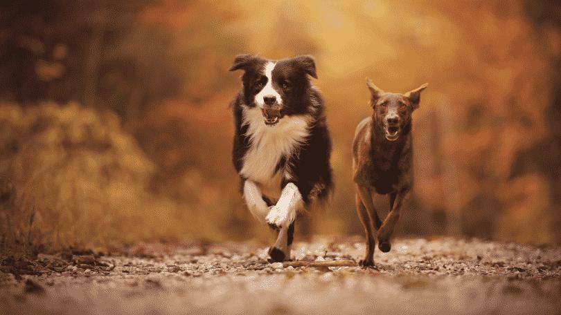 Dois cachorros correndo na floresta