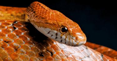 Foto de cobra vermelha