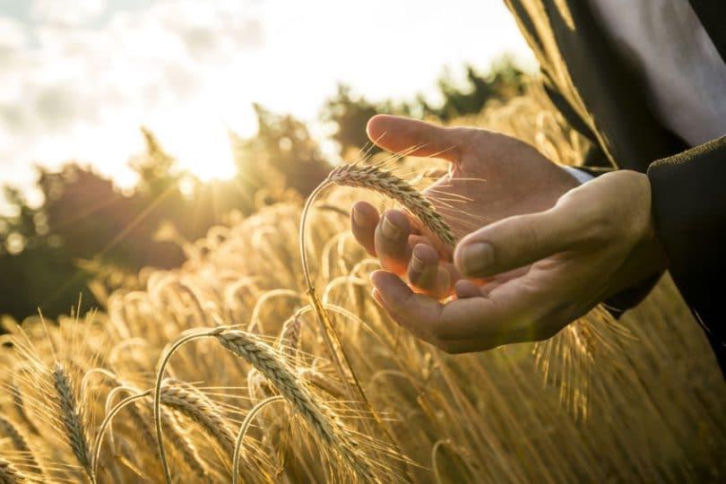 Mãos fechadas em torno de um trigo