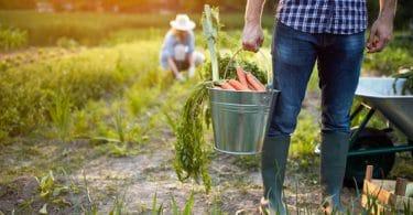 homem com balde cheio de cenouras em horta