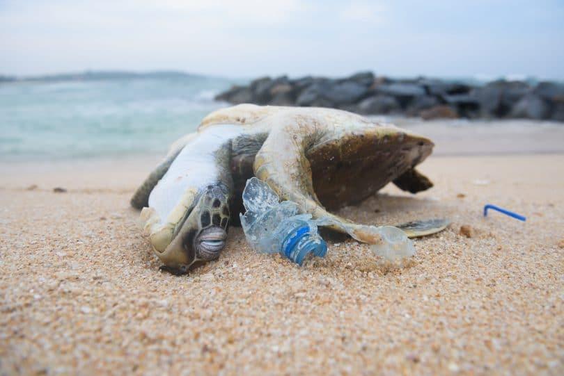 Tartaruga morta na areia da praia em meio a garrafas de plástico destruídas.