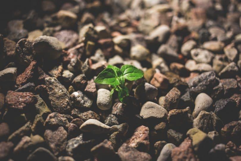 Ramo de folhas nascendo entre pequenas pedras
