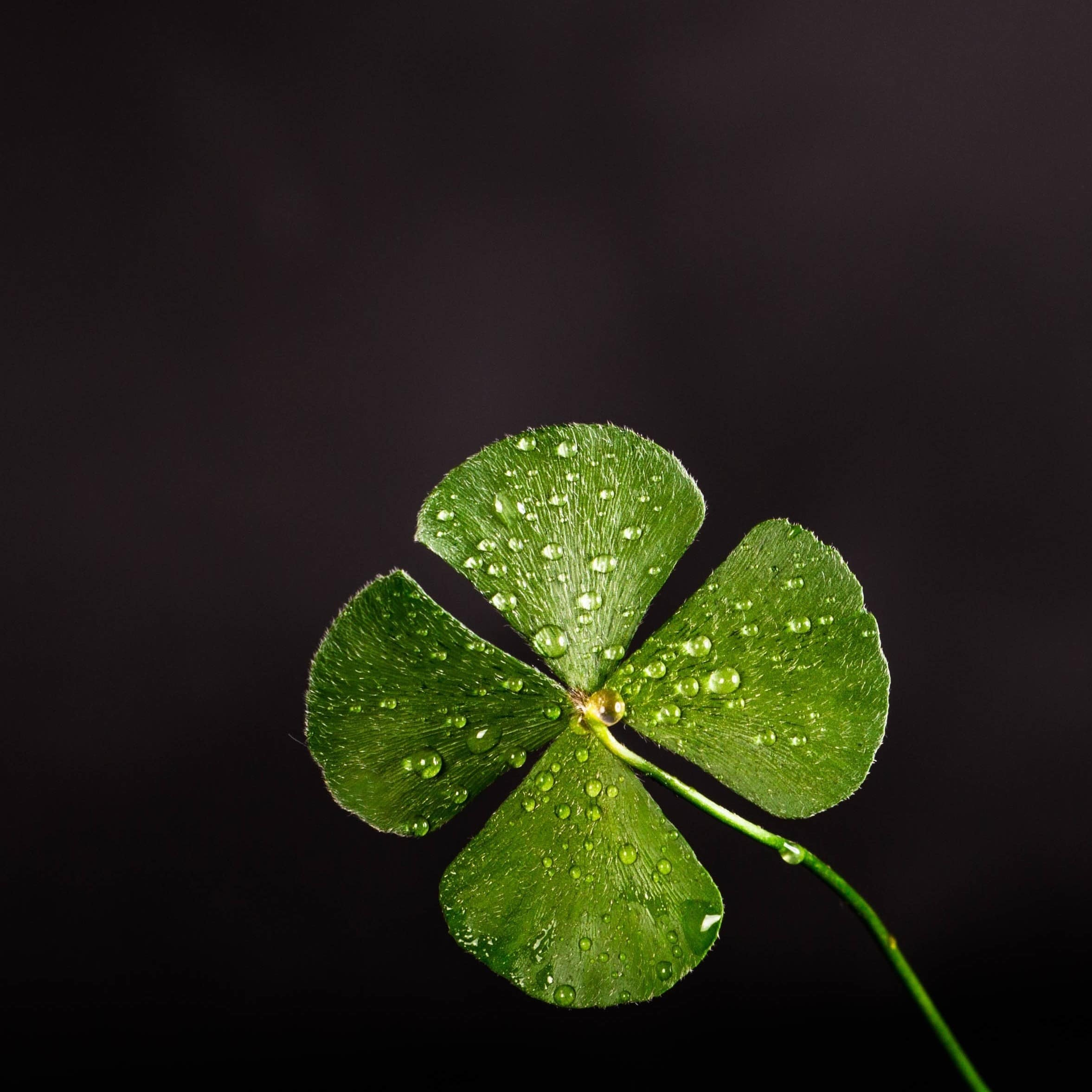 Um trevo-de-quatro-folhas, símbolo de sorte, verde e úmido sobre fundo preto.