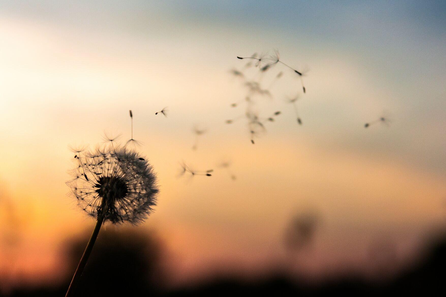 Flor dente de leão no foco se desfazendo com o vento com fundo desfocado com por do sol